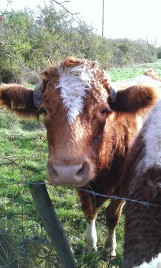 Curious and whistful cow